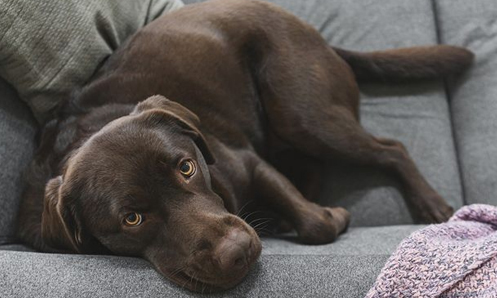 brown down laying on gray couch