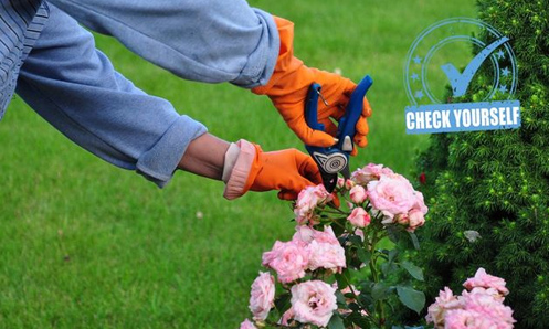 a pair of gloved hands shown trimming a pink rose bush