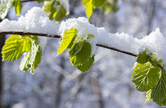 Tree Branch Covered with Snow