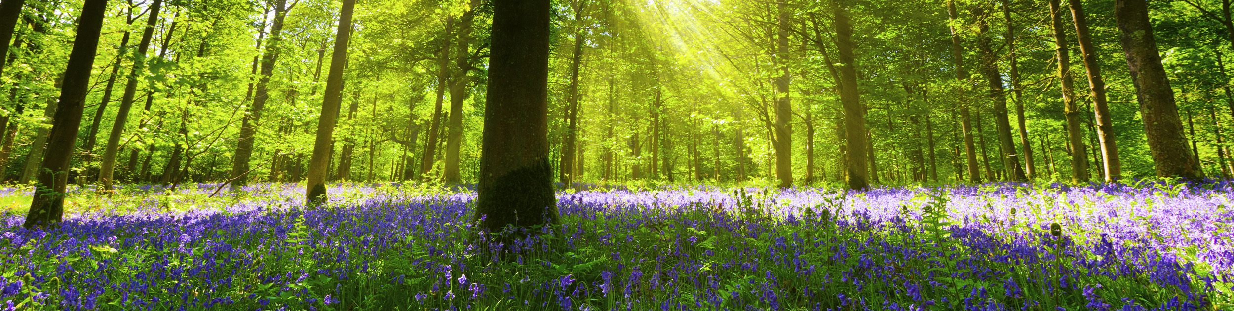 sprawling purple flowers in the woods surrounded by trees with sunshine showing through