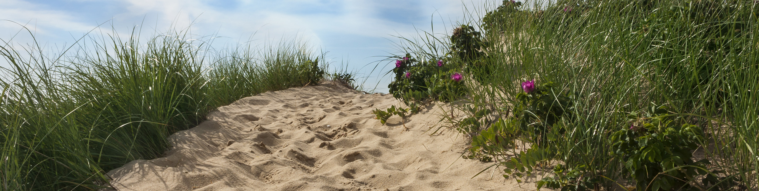 walking path on the beach sand surrounded by long grass on both sides and some pink flowers on the right side